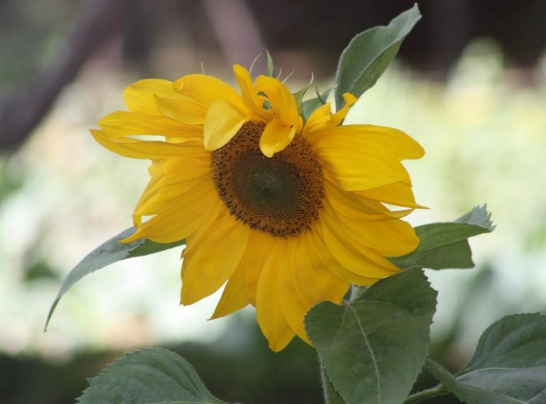 Sunflower, Madrid